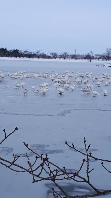 凍る湖面の白鳥.jpg
